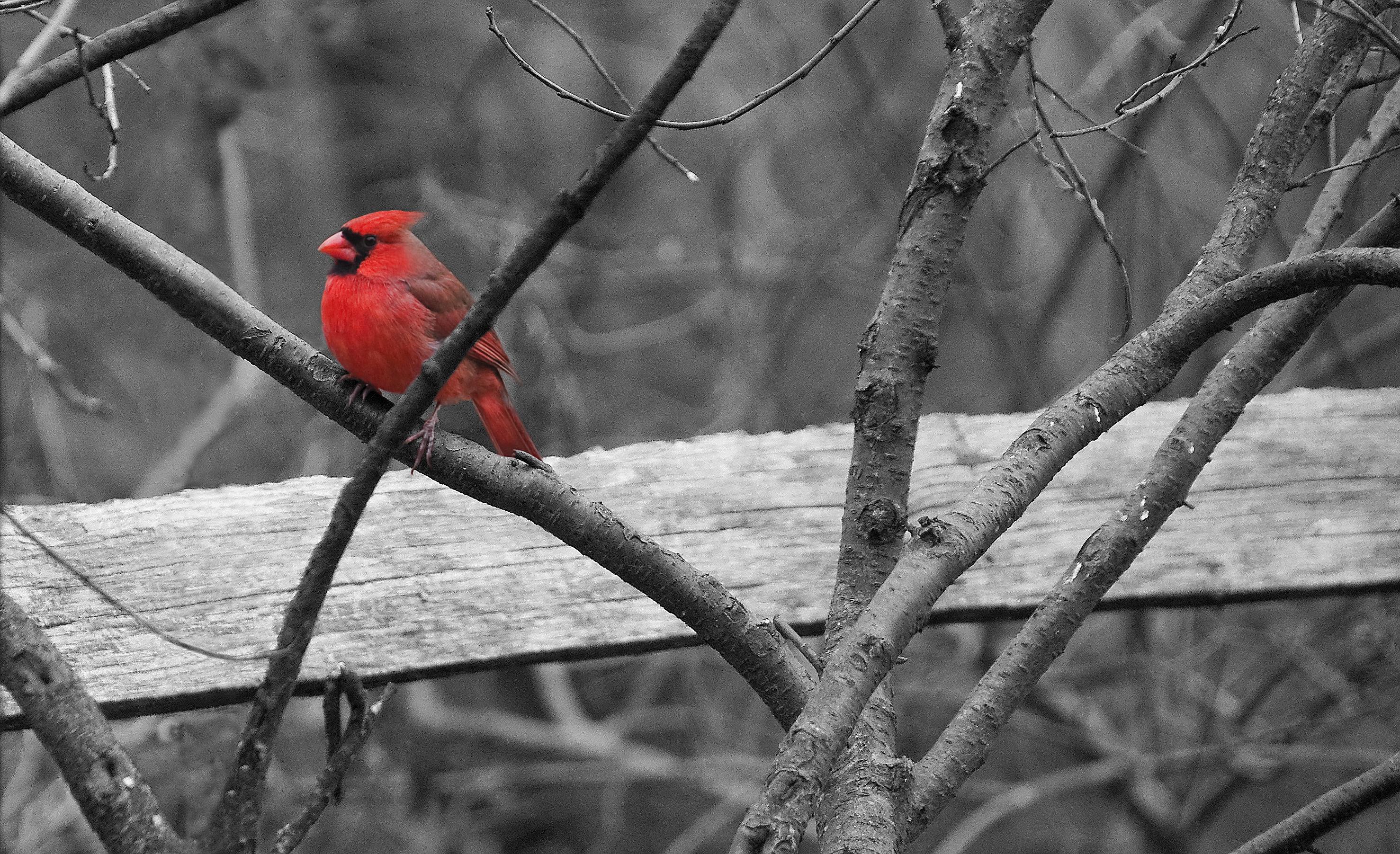 cardinal_final_1-8-11